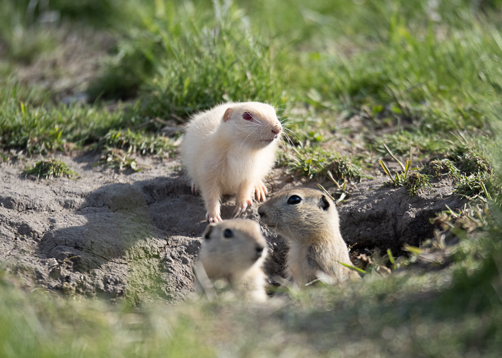Albino Gopher